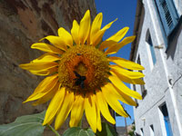 Sunflower near the church of Agios Ioannis Chrisostomos