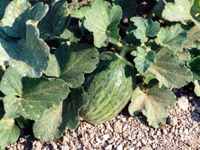 Cucumber of Kimolos